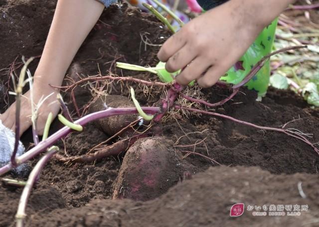 実は手間が少ない?家庭菜園でも出来るさつまいもの栽培方法