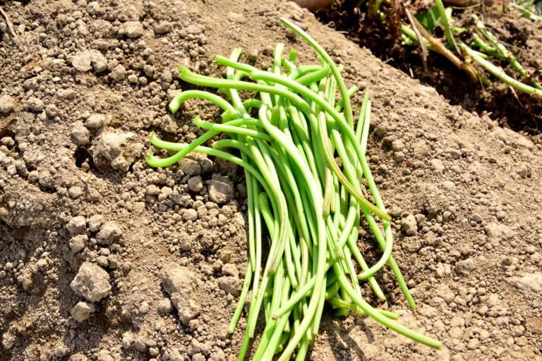 さつまいもの茎は食べられる?茎に含まれる栄養素とレシピ2選