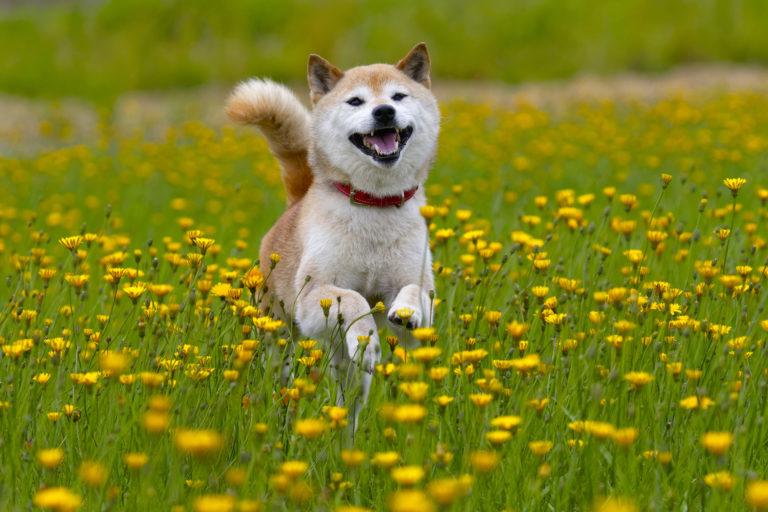 さつまいもは犬にあげても大丈夫!注意したいポイントを紹介!
