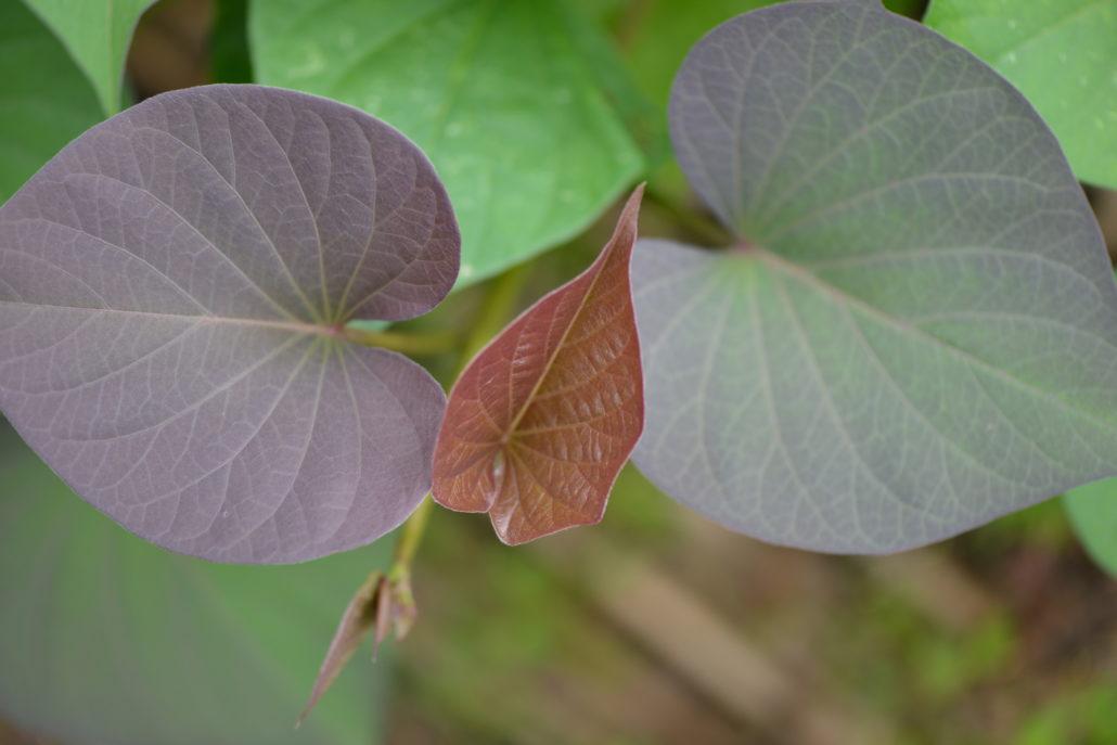 褐色に変色したさつまいもの葉