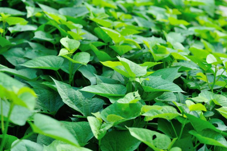 さつまいもの葉っぱは食べられる!その栄養素とおすすめレシピ2選